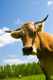 Cow on blue sky background Royalty Free Stock Photos
