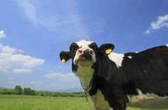 Cow and  blue  sky   in field Stock Image