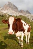 Cow (bos primigenius taurus) on Dolomities Royalty Free Stock Images