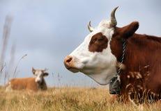 Cow, bos primigenius taurus Stock Photography
