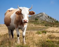 Cow, bos primigenius taurus Stock Photo