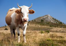 Cow, bos primigenius taurus Stock Photography