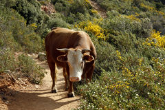 Cow (Bos primigentus f. taurus) Royalty Free Stock Images