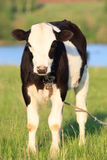 Cow (Bos taurus) Royalty Free Stock Image