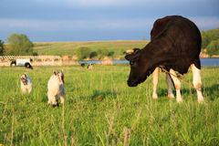 Cow (Bos taurus) Stock Image