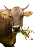 Cow with bouquet. Affable cow with wildflowers bouquet  isolated on white background Stock Photo