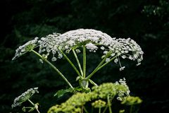 Cow parsnip or the toxic hogweed in summer sunny day. Heracleum. Cow-bream. stock photo