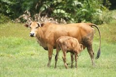 Cow breast feeding Stock Images