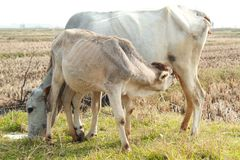 Cow breastfeeding in a paddy field stock images