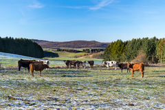 Cow Breathing in Winter Stock Photography