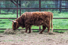 Cow breed highland. Royalty Free Stock Photo