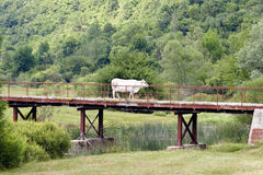 Cow on the bridge Royalty Free Stock Photo