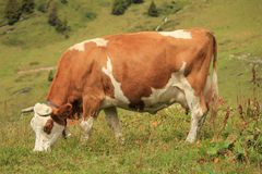 Cow brown Stock Photo