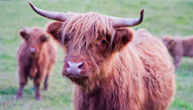 Cow, Brown royalty free stock photo
