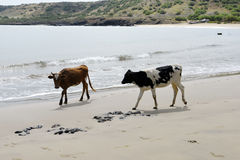 Cow and Brown Bull on Sand Beach, Animals Natural World, Travel Africa Royalty Free Stock Images