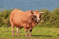 Cow. Brown cows, domestic ruminants with their offspring resting by the sea waiting to be milked Royalty Free Stock Photography