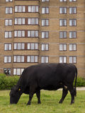Cow by Brown High Rise Accommodation Stock Photos