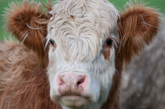 Cow, Brown & White. A brown and white cow Royalty Free Stock Image