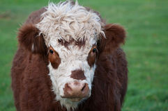 Cow, Brown & White. A brown and white cow Stock Photo