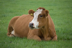 Cow Brown White Laying Stock Photography