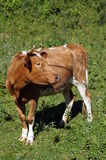 A cow with brown and white wool grazes Royalty Free Stock Images