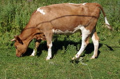 A cow with brown and white wool grazes Stock Image