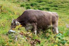 Cow browsing Royalty Free Stock Photos