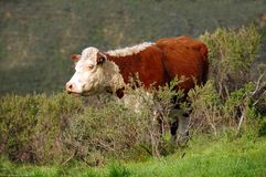 Cow In The Brush Royalty Free Stock Images