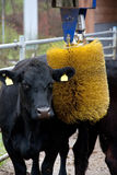 Cow with brush massage device Stock Images