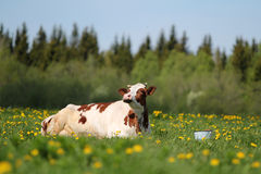 Cow and bucket. White red spotted cow lying in grass and bucket with milk Royalty Free Stock Image