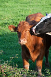 Cow and bull Royalty Free Stock Image