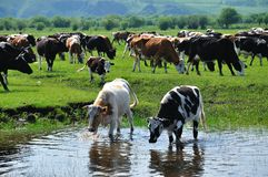 Cow and bull. Cows drinking water in grassland Stock Photos
