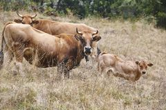 Cow and bull in the countryside. Cattle, livestock. Horizontal. Cow and bull in the countryside. Cattle, livestock. Mammal stock images