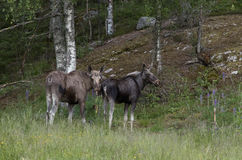 Cow and bull of european elk, Alces alces, standing in a forest Stock Image