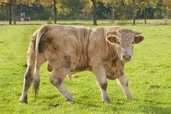 Cow bull in a meadow Stock Photos