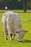 Cow bull in a meadow Royalty Free Stock Images