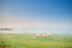 Cow and bull in mist on pasture Stock Photography