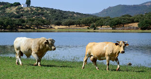 Cow and bull - panoramic  landscape Stock Photo