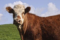 Cow bull posing Royalty Free Stock Photos