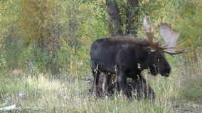 Cow and Bull Shiras Moose in Rut stock footage
