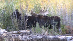 Cow and Bull Shiras Moose Rutting stock video footage