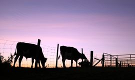 Cow and bull silhouettes on pasture at sunrise royalty free stock image