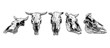 Cow and bull skull set. Royalty Free Stock Photos