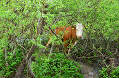 Cow in a bush Stock Photos