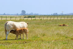 Cow with calf Royalty Free Stock Image
