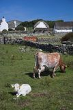 Cow and Calf. On old farm Stock Photography