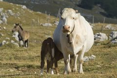 Cow with calf. In an alpine meadow (France Stock Photos