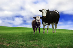 Cow and calf. An image of a cow with her young calf standing in a field of lush green grass royalty free stock image