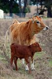 Cow and Calf. Cow and new calf keeping watch stock photo