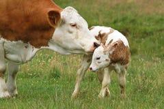 Cow_calf Imagem de Stock Royalty Free